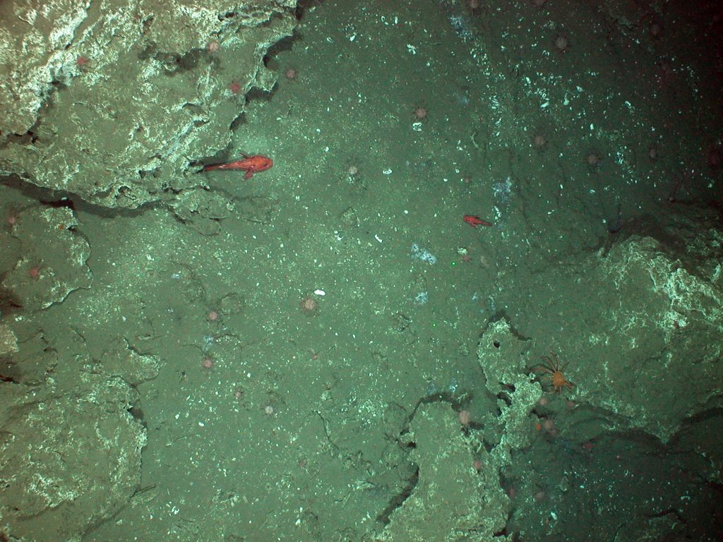 Base of 50 m tall carbonate pinnacle at Southern Hydrate Ridge where Jason will be working during dive J2-508. Image taken by the Tow-Cam operated by D. Fornari, Woods Hole as part of the UW Insite0'08 cruise.