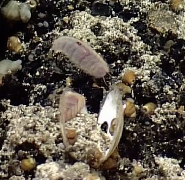 Scaleworms on Escargot vent at Axial Seamount are typically pink. The one in the foreground dines on a clam.