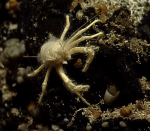 Squat Lobster on Escargot vent at Axial Seamount. Photo credit: NSF-OOI/UW/WHOI; V11