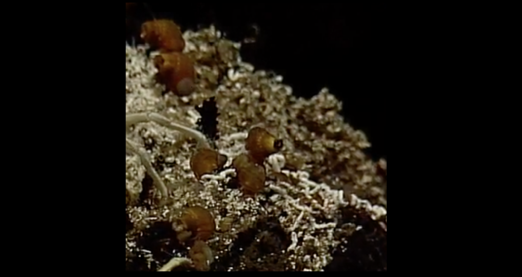 Glob Snails on Escargot Vent, Axial Seamount - Closeup. Photo credit: NSF-OOI/UW/WHOI; V11