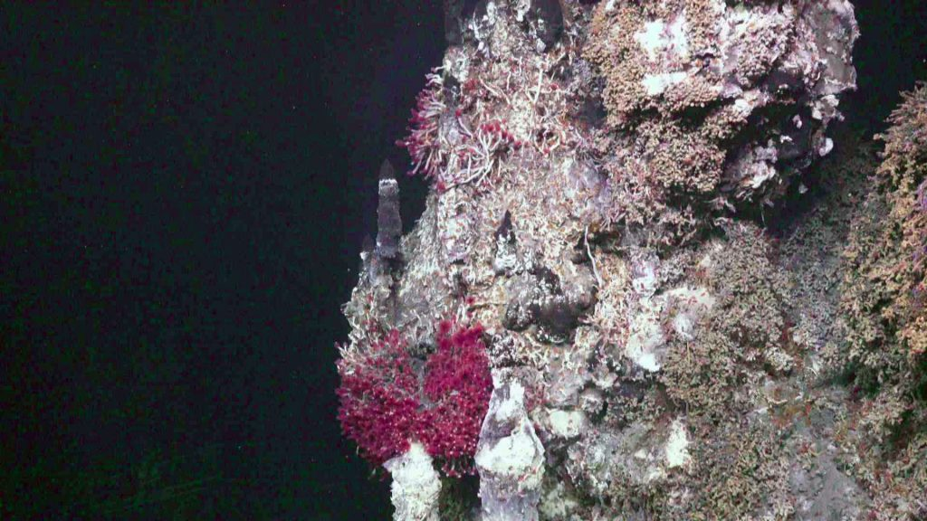 Tube worms thrive on the side of the active >270°C vent called Inferno in the ASHES vent field. Credit: UW/OOI-NSF/WHOI; V19.