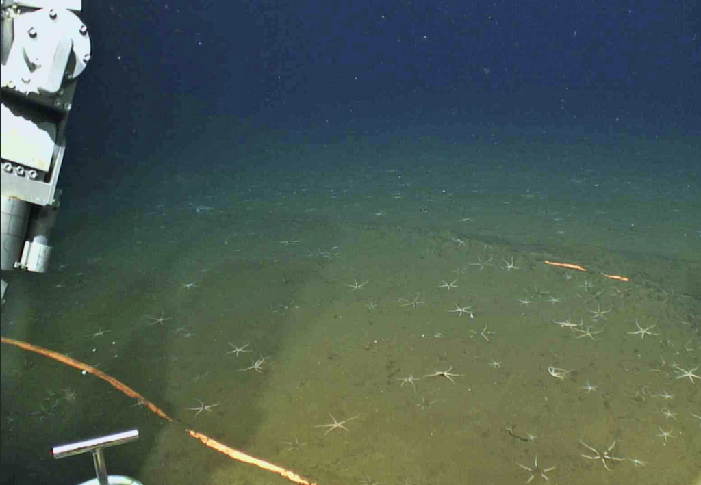 Brittle stars abound on the sedimented-seafloor at the base of Axial Seamount. Credit: UW/NSF-OOI/WHOI.V19