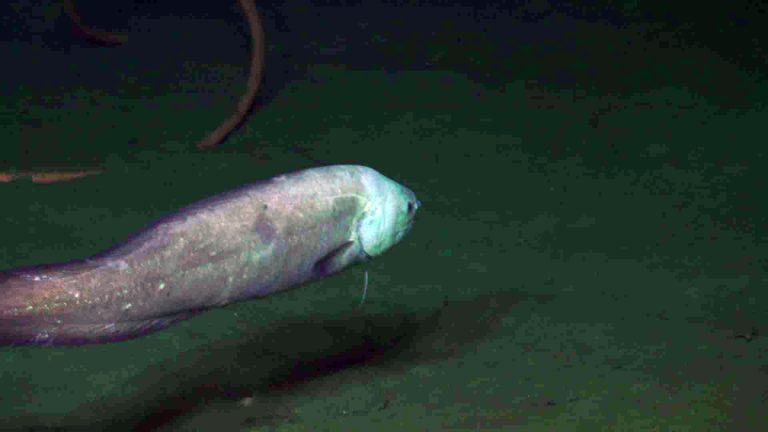 """Our friend, 'weird"""" fish we have seen every year since 2011 came to see us again at Slope Base. Credit:UW/NSF-OOI/WHOI:V19."""