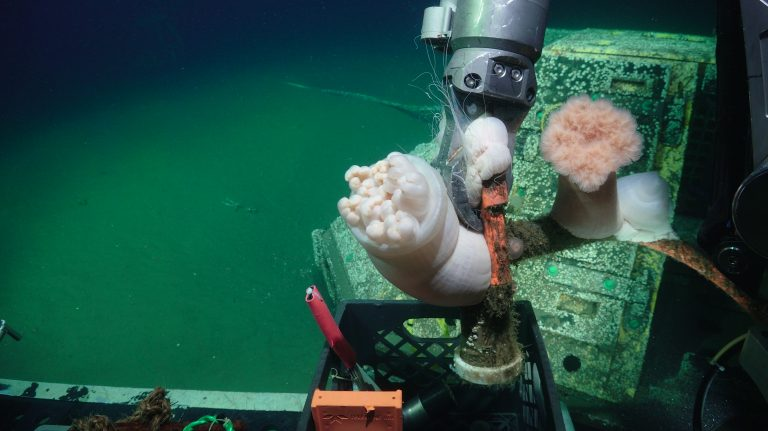 Anemones on the Oregon Shelf BEP power cable. Photo Credit: UW/NSF-OOI/WHOI, V19