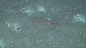 A tanner crab next to bacterial mat at Southern Hydrate Ridge (780m). Credit: UW/NSF-OOI/WHOI, V19