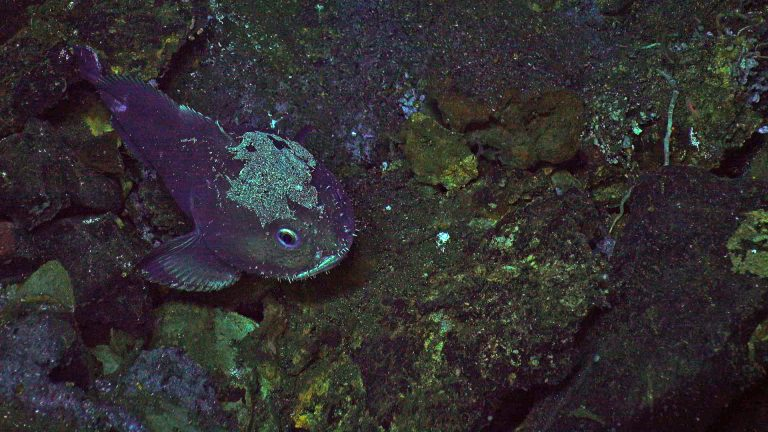 A sculpin aka 'blobfish' comes out to greet the ROV at 5000 ft down on the summit of Axial Seamount. Credit: UW/NSF-OOI/WHOI; V20.