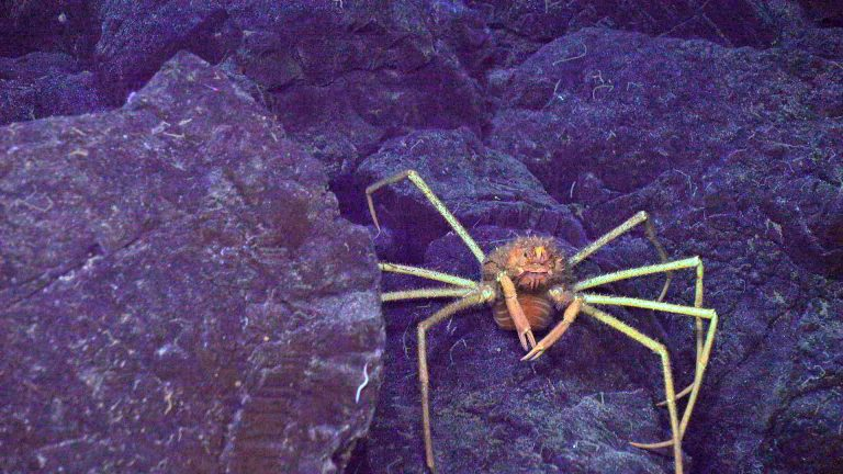 A spider crab walks across a lava flow at the summit of Axial Seamount. Credit: UW/NSF-OOI/WHOI:V20