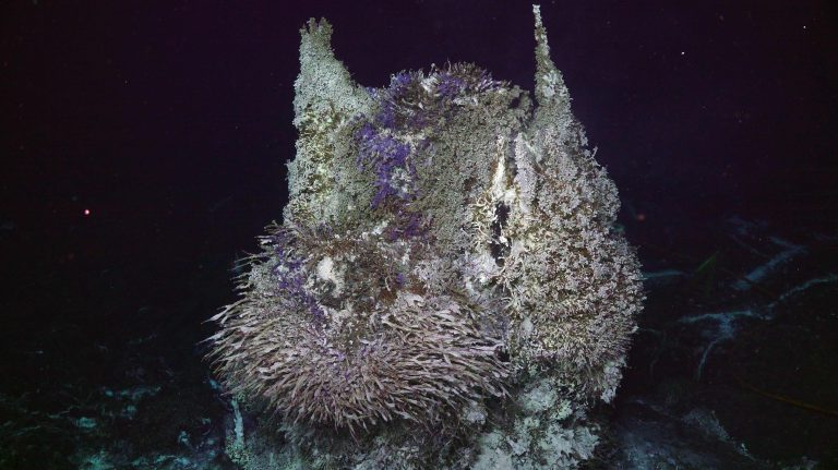 The summit of the active hydrothermal chimney is covered in a dense community of tubeworms, palm and scale worms, blue ciliates and white filamentous bacteria. Credit: UW/NSF-OOI/WHOI.V20