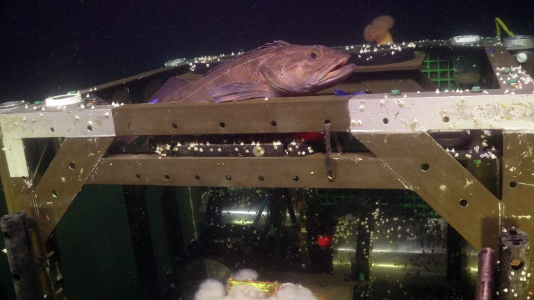 A cod rests atop the zooplankton sonar platform at the Oregon Shelf site (80 m water depth). Credit: UW/NSF-OOI/WHOI. V20.