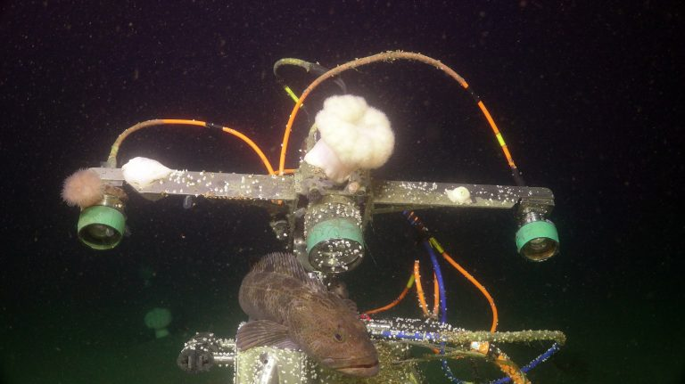 A sablefish rests on the side of the digital still camera at the Oregon Shelf site (80 m). Credit: UW/NSF-OOI/WHOI.V20