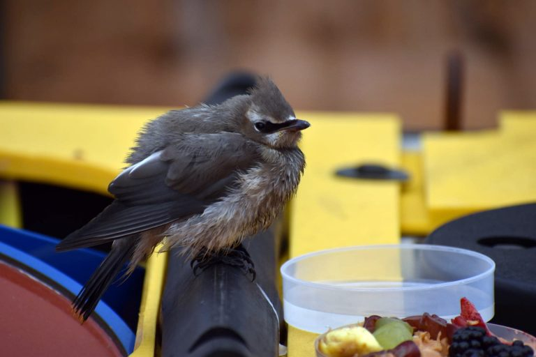 A Cedar Waxwing rests atop an RCA platform on the fantail of the R/V Thompson. Credit: M. Elend, University of Washington, V20