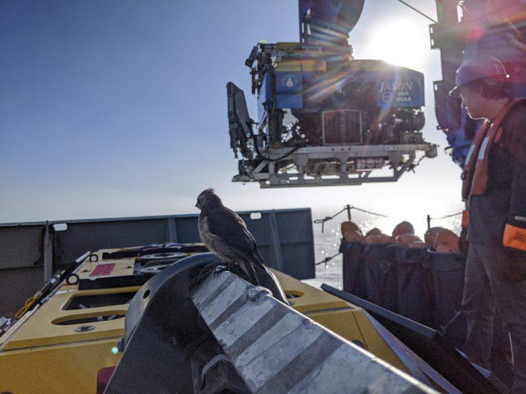 A Cedar Waxwing watches Jason onboard the R/V Thompson during VISIONS'20. Credit. I. Borchert, University of Washington. V20