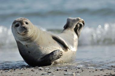 Seal In Spanish English Spanish Translator Nglish By Britannica