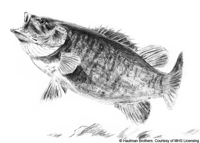small mouth bass sketch