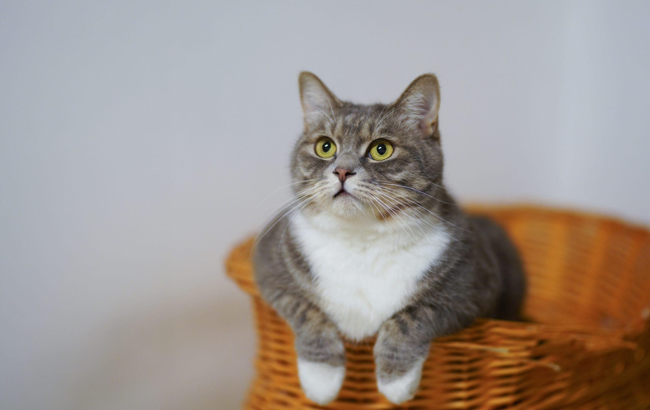 Los gatos necesitan tratamientos regulares contra los parásitos