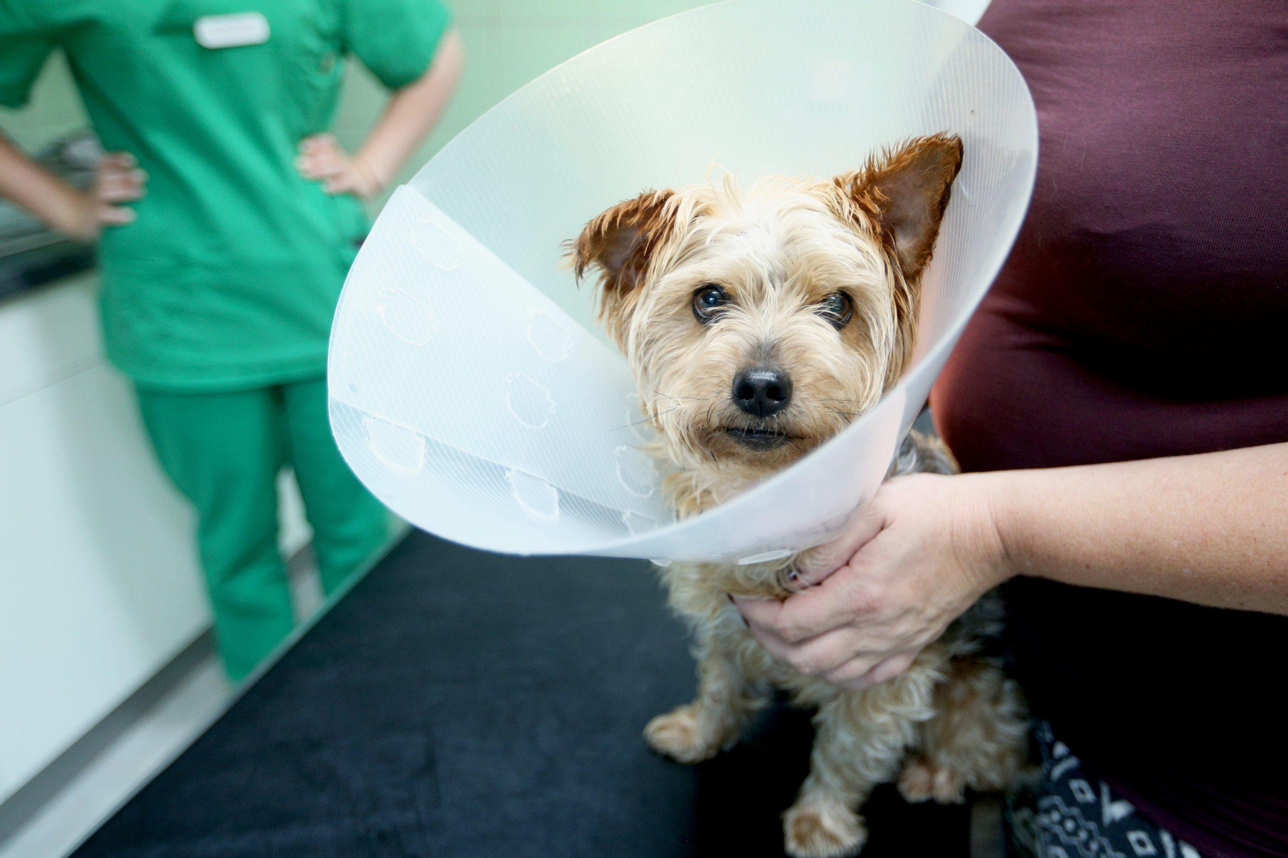 Ventajas y desventajas de castrar al perro