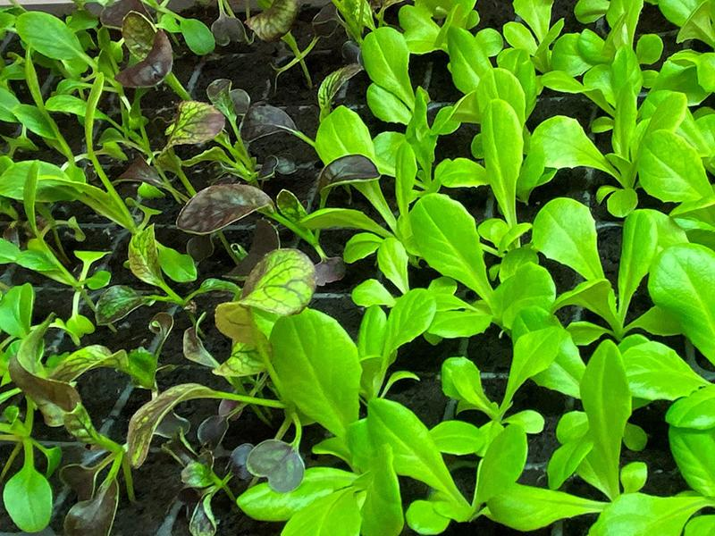 Hydroponic Garden | Seedlings | The Arbors of Sweetgrass