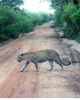 Leopard crosses road in Sri Lanka