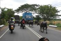 Animals take up road space on Sri Lanka motorbike adventure
