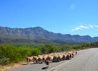 Sheep cross the road on the Garden Route