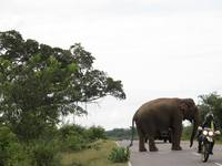 Elephant crosses road behind motorcycle in Sri Lanka