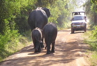 Asian elephants cross the road in front of tour group