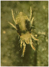 2spotted.spider.mite