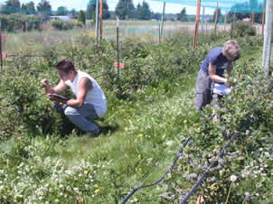 Two researchers examine blueberry bushes in the field.
