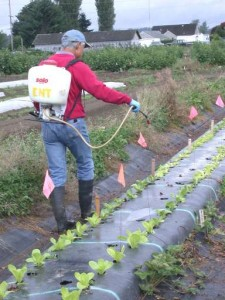 Man using a backpack sprayer along a row of plants.