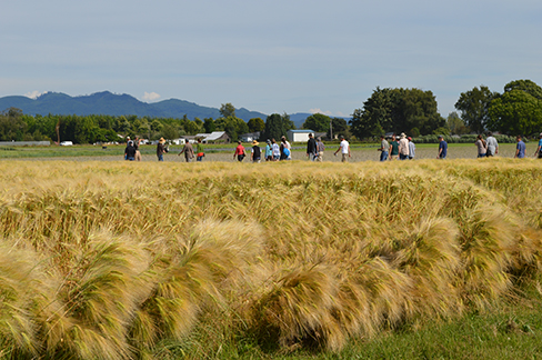 Field day group walks through a field of barley.