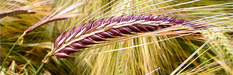 A head of wheat