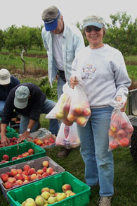 Volunteers bag peaches from plastic bins.