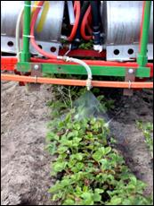 Spray nozzle applies treatment to a row of strawberry plants.
