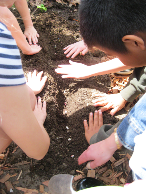 Planting in their school garden the Rockwell bean