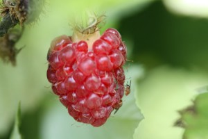 Spotted Wing Drosophila (SWD) on a raspberry.