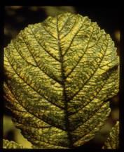 Raspberry leaf demonstrating mite damage.