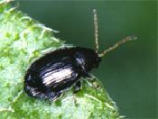 Tuber flea beetle