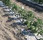 biodegradable-mulch1