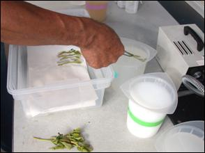 Dipping buds in a container of solution the lab. Previously dipped buds are in a polyproylene box.