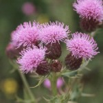 canadian_thistle