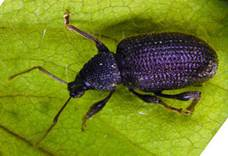 Rough strawberry root weevil