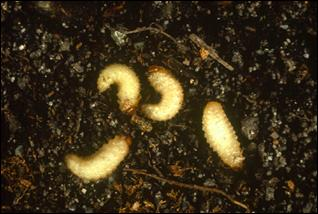 root weevil larvae