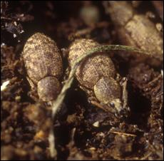 Two Clay-colored weevils.