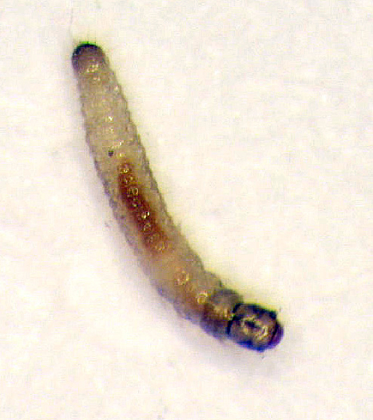 Tuber flea beetle larvae