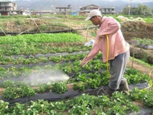 Worker using a power washer in strawberry field.