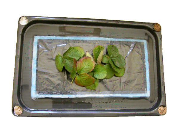 Shallow pan with strawberry leaves sitting on a plastic tile.