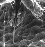spider mite mouth parts