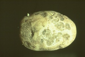 Early blight lesions on potato tuber. Note the circular sunken spots about 0.5 inch in diameter. The underlying tissue will be brown and corky. Photo courtesy of Gary Pelter