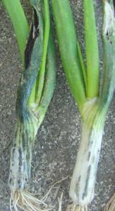 onion-smut-1L