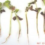 watermelon-seedling-blight-1L